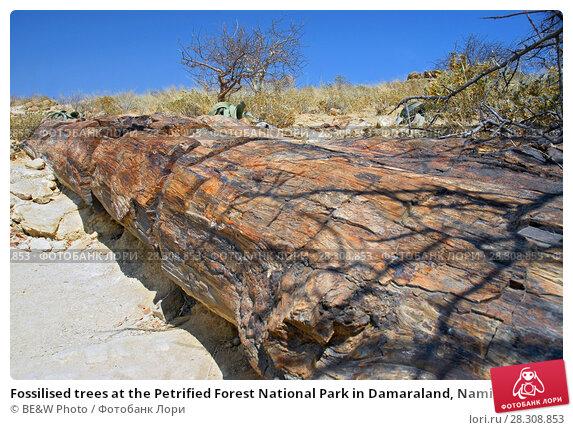 Купить «Fossilised trees at the Petrified Forest National Park in Damaraland, Namibia», фото № 28308853, снято 22 апреля 2018 г. (c) BE&W Photo / Фотобанк Лори