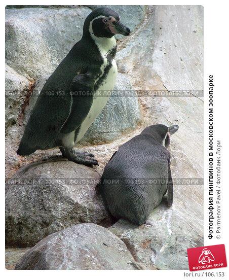 Фотография пингвинов в московском зоопарке, фото № 106153, снято 9 марта 2007 г. (c) Parmenov Pavel / Фотобанк Лори