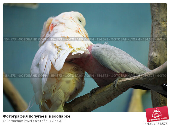 Купить «Фотография попугаев  в зоопарке», фото № 154573, снято 11 декабря 2007 г. (c) Parmenov Pavel / Фотобанк Лори