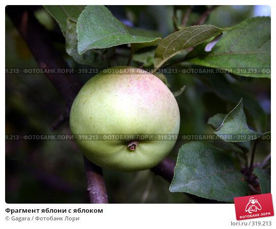 Фрагмент яблони с яблоком, фото № 319213, снято 29 мая 2017 г. (c) Gagara / Фотобанк Лори