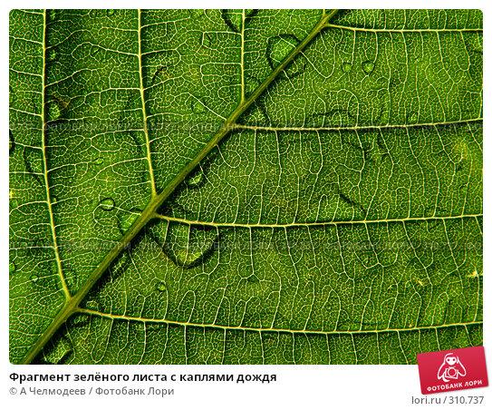 Фрагмент зелёного листа с каплями дождя, фото № 310737, снято 31 мая 2006 г. (c) A Челмодеев / Фотобанк Лори
