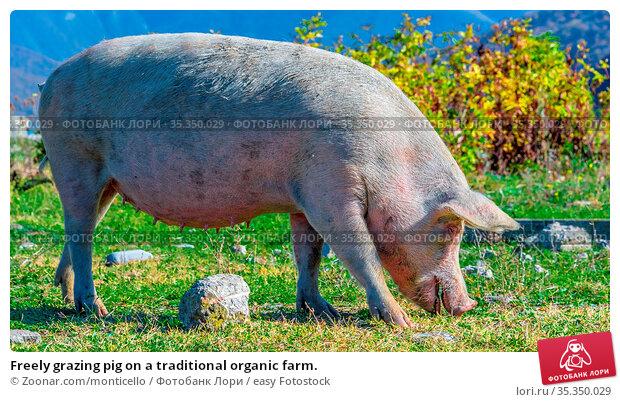 Freely grazing pig on a traditional organic farm. Стоковое фото, фотограф Zoonar.com/monticello / easy Fotostock / Фотобанк Лори