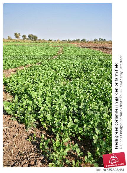 Fresh green coriander in garden or farm field. Стоковое фото, фотограф Dipak Chhagan Shelare / easy Fotostock / Фотобанк Лори