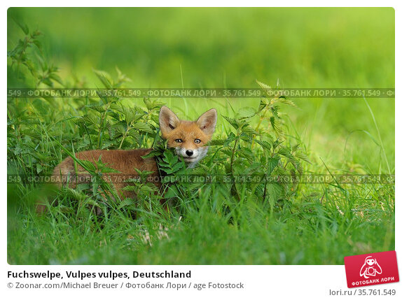 Fuchswelpe, Vulpes vulpes, Deutschland. Стоковое фото, фотограф Zoonar.com/Michael Breuer / age Fotostock / Фотобанк Лори