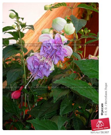 Фуксия, фото № 58997, снято 7 июля 2006 г. (c) Екатерина Овсянникова / Фотобанк Лори