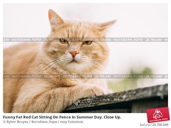 Купить «Funny Fat Red Cat Sitting On Fence In Summer Day. Close Up.», фото № 28700049, снято 17 июня 2016 г. (c) easy Fotostock / Фотобанк Лори