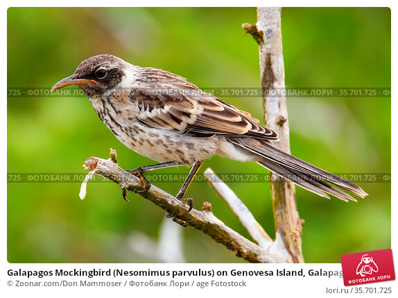 Galapagos Mockingbird (Nesomimus parvulus) on Genovesa Island, Galapagos... Стоковое фото, фотограф Zoonar.com/Don Mammoser / age Fotostock / Фотобанк Лори