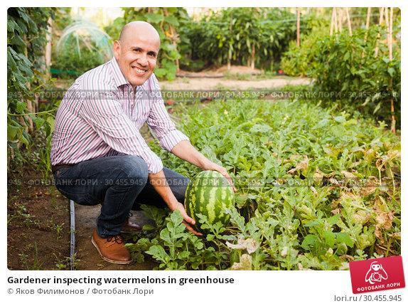 Gardener inspecting watermelons in greenhouse. Стоковое фото, фотограф Яков Филимонов / Фотобанк Лори