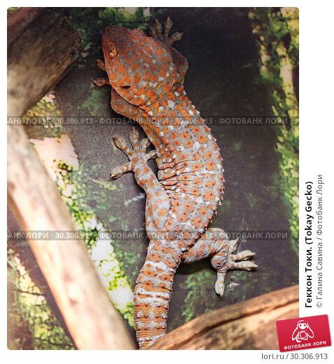 Купить «Геккон Токи. (Tokay Gecko)», фото № 30306913, снято 12 марта 2019 г. (c) Галина Савина / Фотобанк Лори