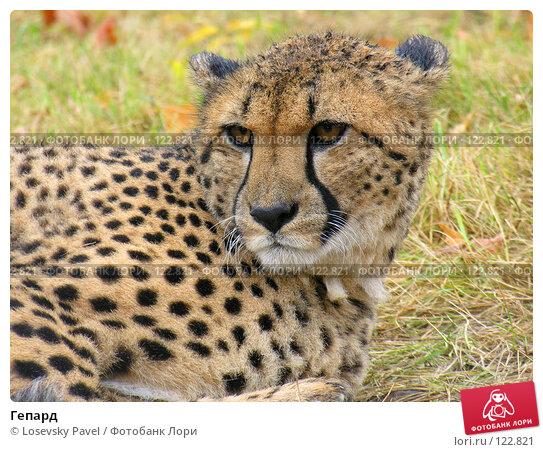 Купить «Гепард», фото № 122821, снято 23 октября 2005 г. (c) Losevsky Pavel / Фотобанк Лори