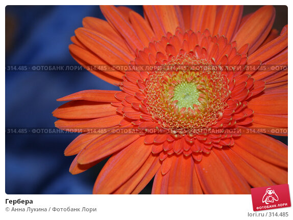 Купить «Гербера», фото № 314485, снято 7 июня 2008 г. (c) Анна Лукина / Фотобанк Лори