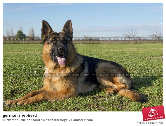 Купить «german shepherd», фото № 11026701, снято 22 сентября 2019 г. (c) PantherMedia / Фотобанк Лори