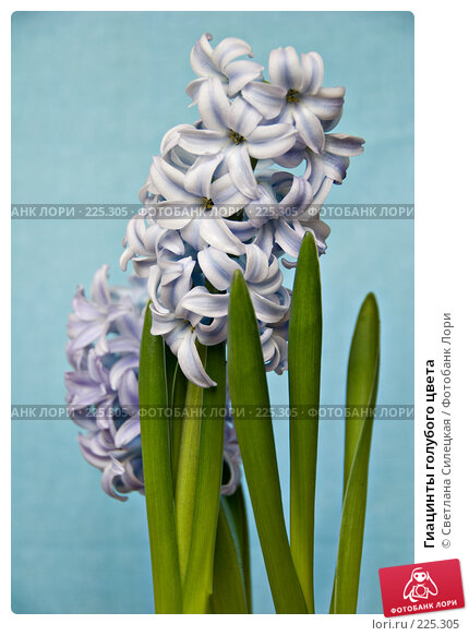 Гиацинты голубого цвета, фото № 225305, снято 17 марта 2008 г. (c) Светлана Силецкая / Фотобанк Лори