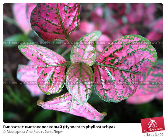 Гипоэстес листоколосковый (Hypoestes phyllostachya), фото № 3409, снято 20 мая 2006 г. (c) Маргарита Лир / Фотобанк Лори