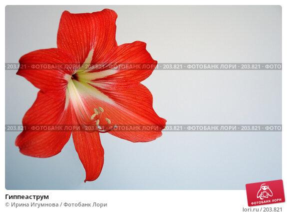 Гиппеаструм, фото № 203821, снято 1 июня 2007 г. (c) Ирина Игумнова / Фотобанк Лори