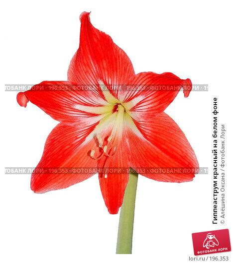 Купить «Гиппеаструм красный на белом фоне», эксклюзивное фото № 196353, снято 21 января 2008 г. (c) Алёшина Оксана / Фотобанк Лори