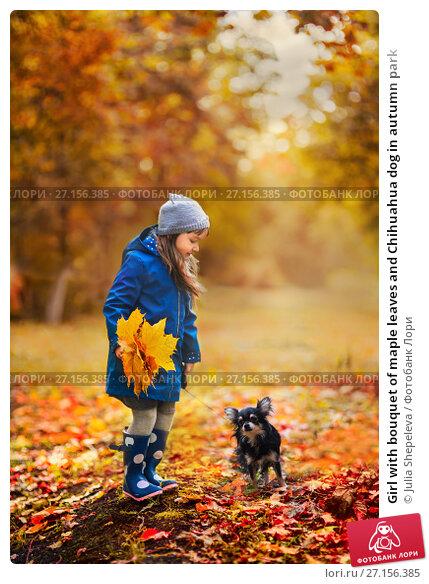 Купить «Girl with bouquet of maple leaves and Chihuahua dog in autumn park», фото № 27156385, снято 7 октября 2017 г. (c) Julia Shepeleva / Фотобанк Лори