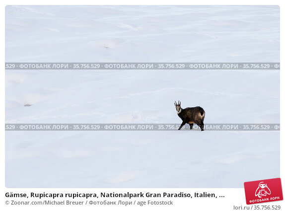 Gämse, Rupicapra rupicapra, Nationalpark Gran Paradiso, Italien, ... Стоковое фото, фотограф Zoonar.com/Michael Breuer / age Fotostock / Фотобанк Лори