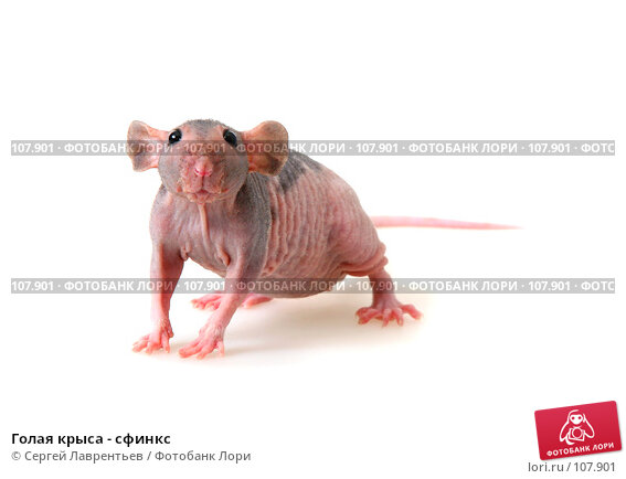 Голая крыса - сфинкс, фото № 107901, снято 23 сентября 2007 г. (c) Сергей Лаврентьев / Фотобанк Лори