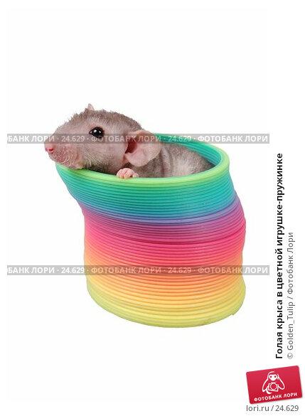 Голая крыса в цветной игрушке-пружинке, фото № 24629, снято 18 марта 2007 г. (c) Golden_Tulip / Фотобанк Лори