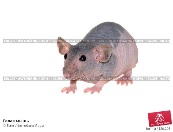 Купить «Голая мышь», фото № 120205, снято 22 ноября 2017 г. (c) Estet / Фотобанк Лори