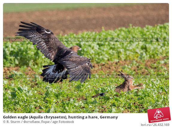 Купить «Golden eagle (Aquila chrysaetos), hunting a hare, Germany», фото № 26432169, снято 15 февраля 2016 г. (c) age Fotostock / Фотобанк Лори