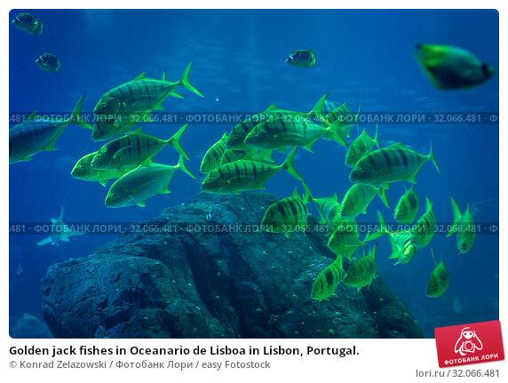 Golden jack fishes in Oceanario de Lisboa in Lisbon, Portugal. Стоковое фото, фотограф Konrad Zelazowski / easy Fotostock / Фотобанк Лори