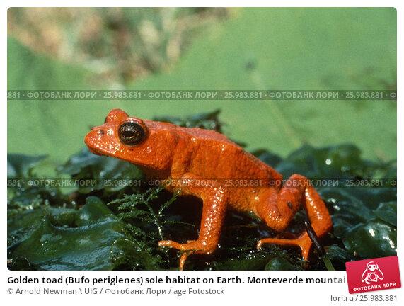 Купить «Golden toad (Bufo periglenes) sole habitat on Earth. Monteverde mountain top», фото № 25983881, снято 17 мая 2020 г. (c) age Fotostock / Фотобанк Лори