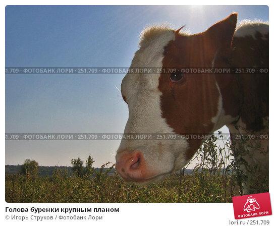 Голова буренки крупным планом, фото № 251709, снято 24 сентября 2005 г. (c) Игорь Струков / Фотобанк Лори