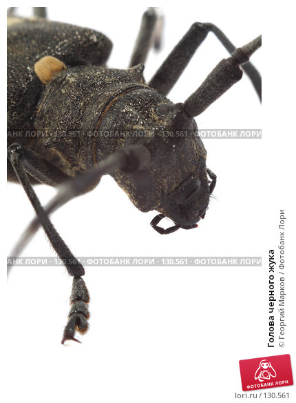 Голова черного жука, фото № 130561, снято 28 июля 2007 г. (c) Георгий Марков / Фотобанк Лори