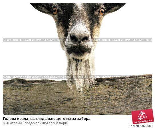 Купить «Голова козла, выглядывающего из-за забора», фото № 365689, снято 4 августа 2006 г. (c) Анатолий Заводсков / Фотобанк Лори