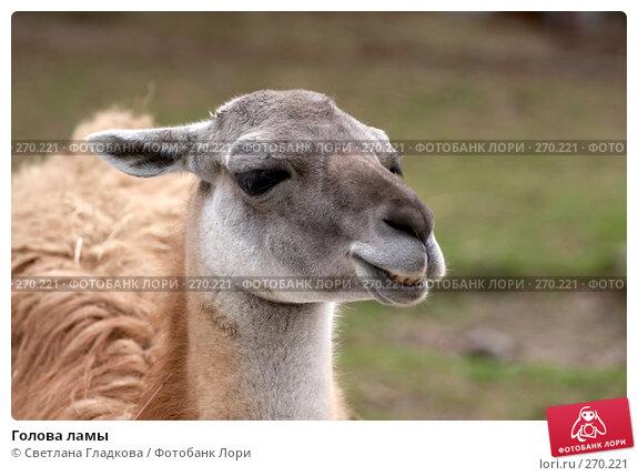 Купить «Голова ламы», фото № 270221, снято 19 апреля 2008 г. (c) Cветлана Гладкова / Фотобанк Лори