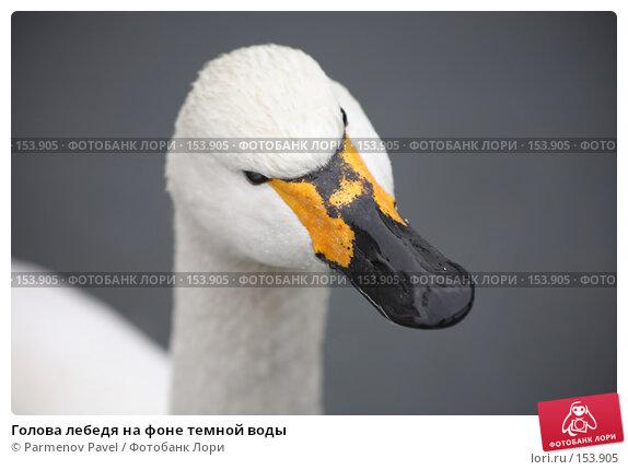 Голова лебедя на фоне темной воды, фото № 153905, снято 11 декабря 2007 г. (c) Parmenov Pavel / Фотобанк Лори