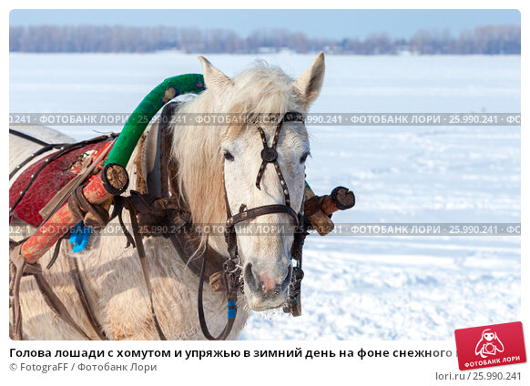 Купить «Голова лошади с хомутом и упряжью в зимний день на фоне снежного поля», фото № 25990241, снято 22 февраля 2019 г. (c) FotograFF / Фотобанк Лори