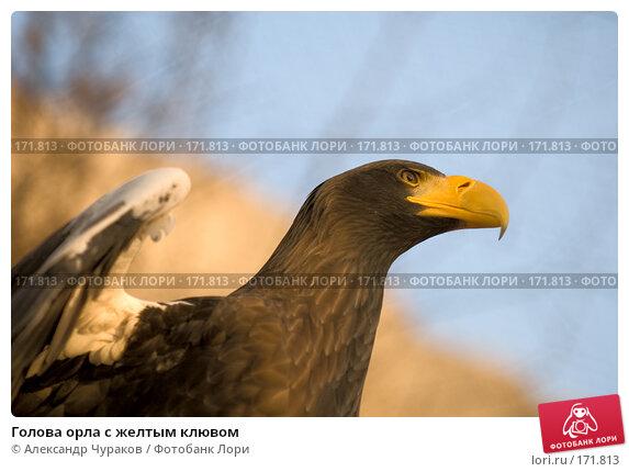 Голова орла с желтым клювом, фото № 171813, снято 1 января 2008 г. (c) Александр Чураков / Фотобанк Лори