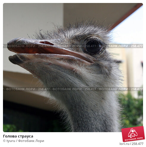 Голова страуса, фото № 258477, снято 18 апреля 2008 г. (c) tyuru / Фотобанк Лори