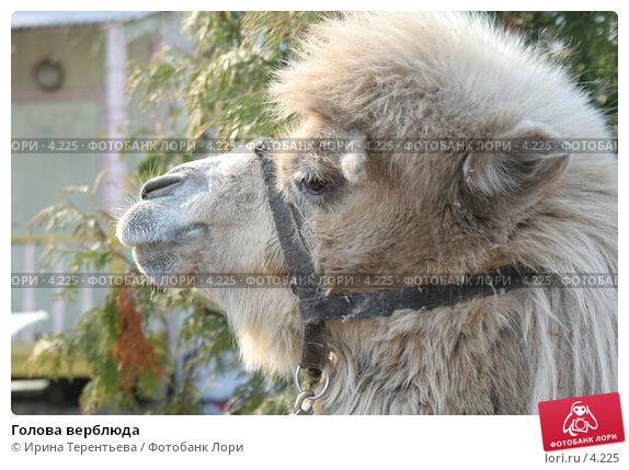Голова верблюда, эксклюзивное фото № 4225, снято 1 мая 2006 г. (c) Ирина Терентьева / Фотобанк Лори