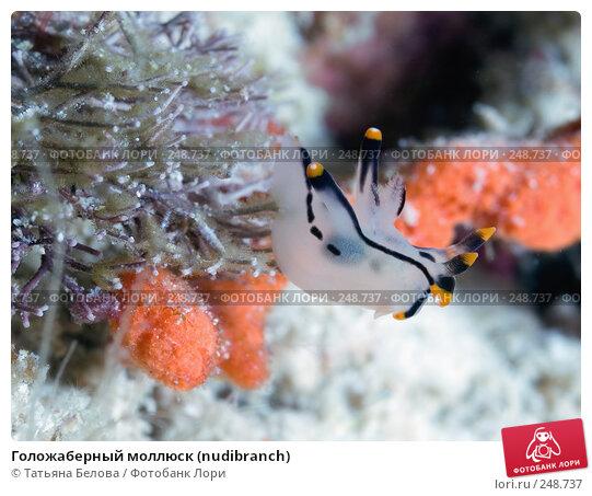Голожаберный моллюск (nudibranch), фото № 248737, снято 19 марта 2008 г. (c) Татьяна Белова / Фотобанк Лори