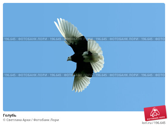 Голубь, фото № 196645, снято 18 мая 2007 г. (c) Светлана Архи / Фотобанк Лори