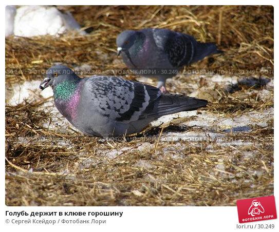 Голубь держит в клюве горошину, фото № 30249, снято 18 января 2017 г. (c) Сергей Ксейдор / Фотобанк Лори