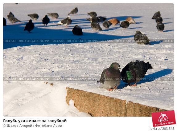 Голубь ухаживает за голубкой, фото № 203545, снято 7 февраля 2008 г. (c) Шахов Андрей / Фотобанк Лори