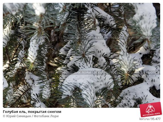 Купить «Голубая ель, покрытая снегом», фото № 95477, снято 26 января 2007 г. (c) Юрий Синицын / Фотобанк Лори
