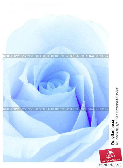 Голубая роза, фото № 268153, снято 1 марта 2008 г. (c) Валерия Потапова / Фотобанк Лори