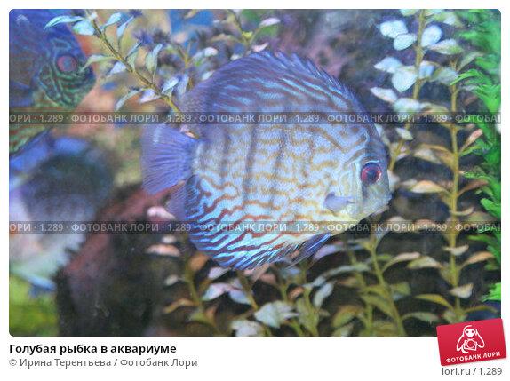 Голубая рыбка в аквариуме, эксклюзивное фото № 1289, снято 15 сентября 2005 г. (c) Ирина Терентьева / Фотобанк Лори