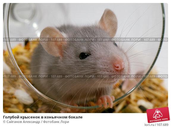 Голубой крысенок в коньячном бокале, эксклюзивное фото № 107689, снято 2 ноября 2007 г. (c) Сайганов Александр / Фотобанк Лори