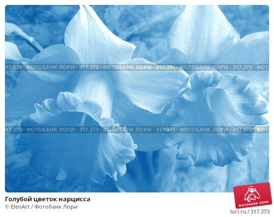 Голубой цветок нарцисса, фото № 317373, снято 11 декабря 2016 г. (c) ElenArt / Фотобанк Лори
