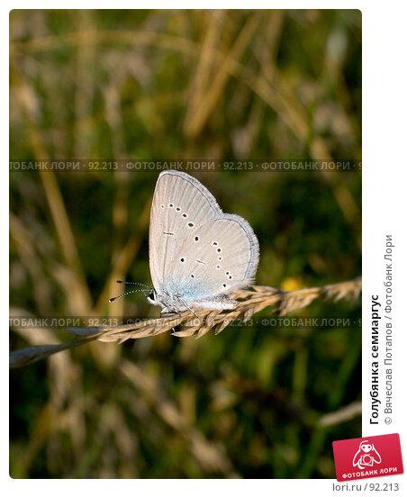Голубянка семиаргус, фото № 92213, снято 17 июля 2007 г. (c) Вячеслав Потапов / Фотобанк Лори