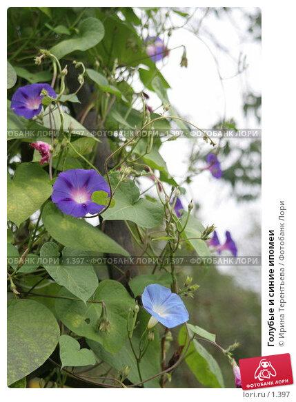 Голубые и синие ипомеи, эксклюзивное фото № 1397, снято 18 сентября 2005 г. (c) Ирина Терентьева / Фотобанк Лори