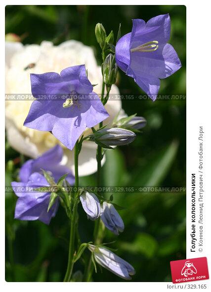 Купить «Голубые колокольчики», фото № 329165, снято 20 июня 2008 г. (c) Коннов Леонид Петрович / Фотобанк Лори