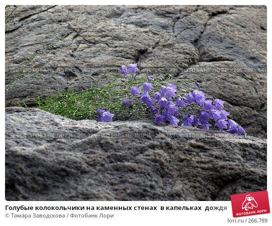 Голубые колокольчики на каменных стенах  в капельках  дождя, эксклюзивное фото № 266789, снято 15 июля 2007 г. (c) Тамара Заводскова / Фотобанк Лори